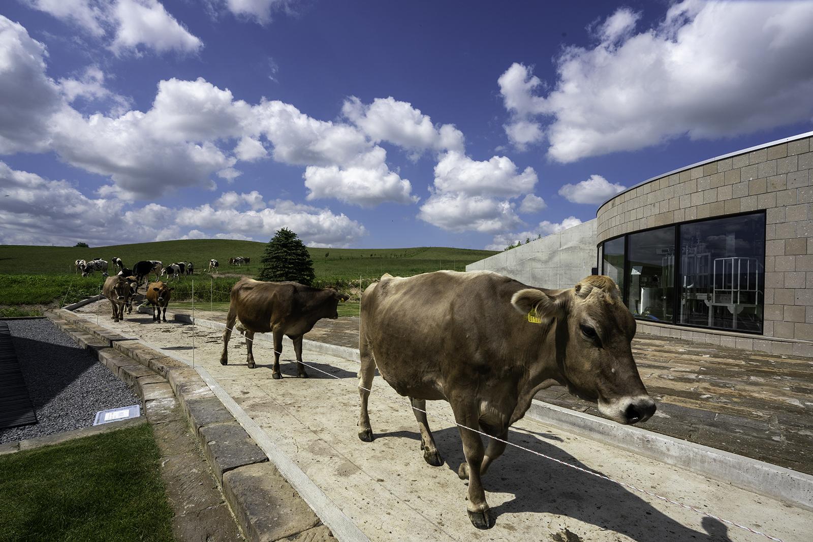 牧場 牛の行進